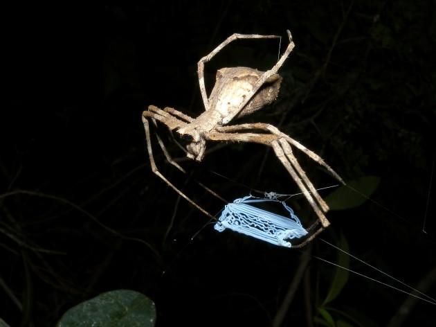 Net-throwing Spider, Ankarafantsika, Madagascar. (Photo by: Frank Vassen)