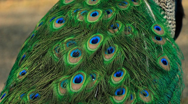Why are male peacock feathers more colorful