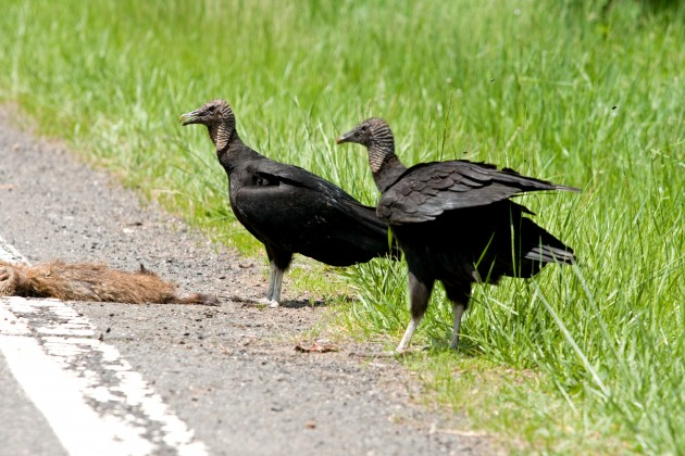 Black vultures (Flickr photo by e_monk)