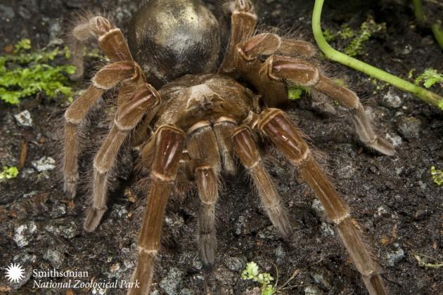 Goliath bird-eating tarantula (Photo by: Meghan Murphy, Smithsonian's National Zoo)
