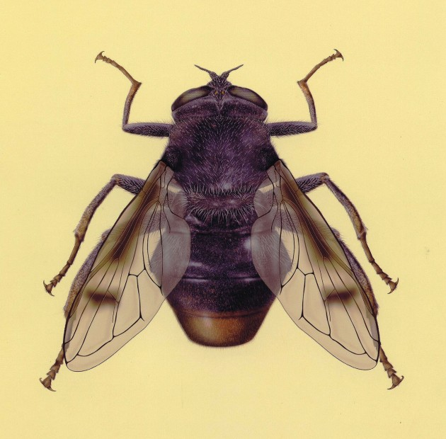 """Sericomyia khamensis,"" a newly discovered flower fly from China"
