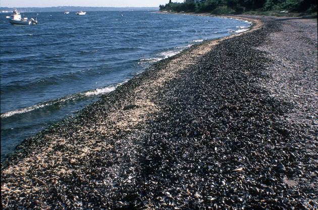 "Piles of mussels (""Mytilus edulis"") washed onto a beach after a dead zone event in Narragansett Bay, Rhode Island. Besides providing food and habitat for other creatures, mussels can also filter water. When mussels die, the bay loses its ability to clear water of phytoplankton, increasing the risk of future dead zones. (Credit: Andrew Altieri/Smithsonian Tropical Research Institute)"