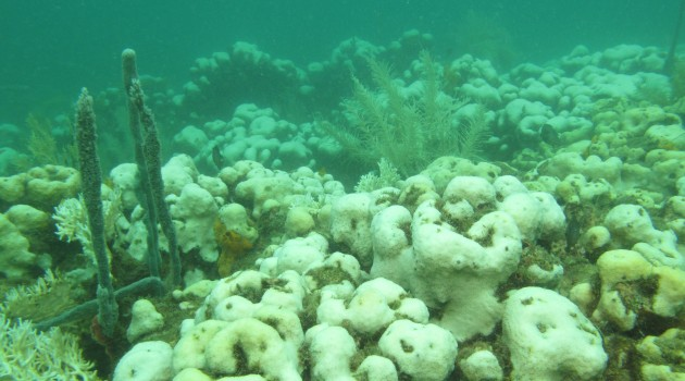Study: Bleaching events impair long-term coral reproduction