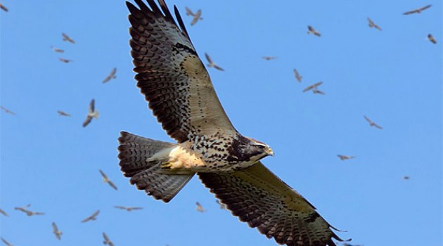 A juvenile Swainson's hawk flies by Panama City's Ancon Hill on Sun, Nov. 2 during a record-setting raptor migration. (Photo courtesy Rafael Lau)