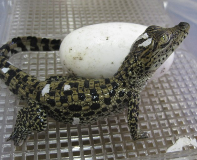Newly hatched Cuban crocodile (Photo by Barbara Watkins, Smithsonian's National Zoo)