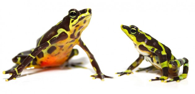 Limosa harlequin frogs (Photo by Brian Gratwicke)