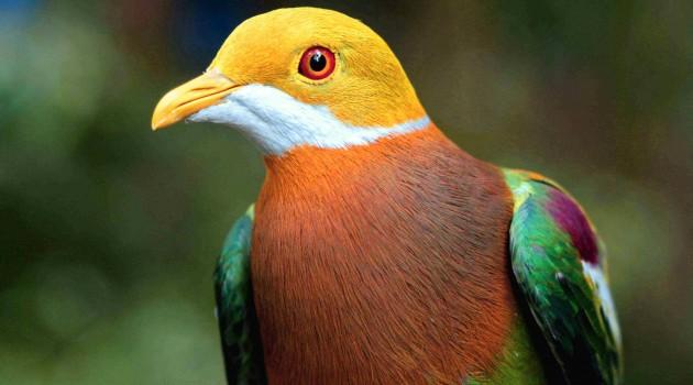 Ornate Fruit-Dove (Photo: Bruce Beehler)