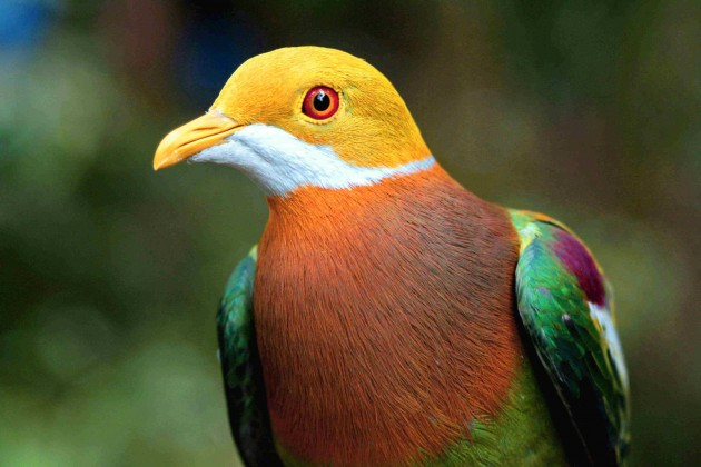 Ornate Fruit-Dove (Photo: Bruce Beehler)