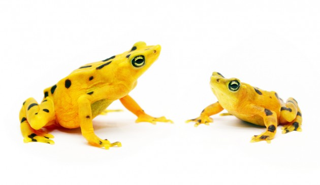 Panamanian golden frogs (Photo by Brian Gratwicke)