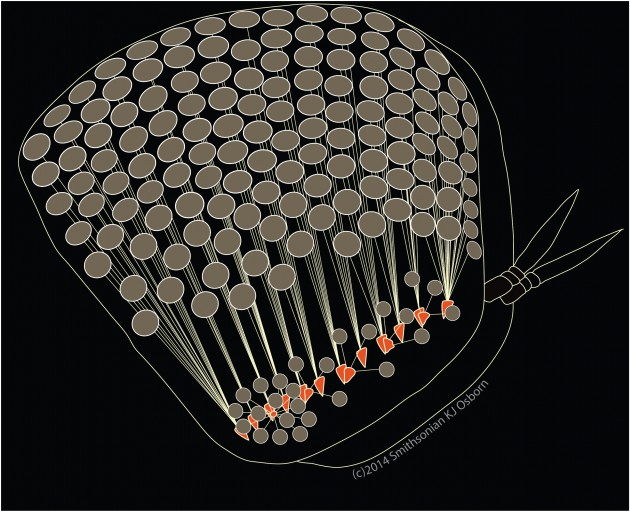 Illustration of Paraphronima's eye from the side showing the arrangement of facets, light guides, and retinas. Each gray circle represents a light gathering facet attached to one of the orange retinas by fiber optic-like guide tissue. (Image by Karen Osborn)
