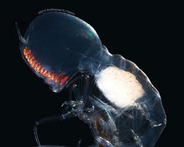 "This image is a side view of ""Paraphronima gracilis"" showing the enormous mostly transparent eyes, row of orange retinas and transparent body with developing gonads (white). (Image by Karen Osborn)"