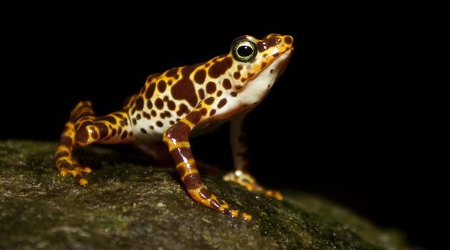 """Atelopus certus,"" lives Cerro Sapo (or Toad Mountain) in the Darien Region of eastern Panama, and is one of the most strikingly colored or all harlequin frogs. (Photo by Brian Gratwicke)"