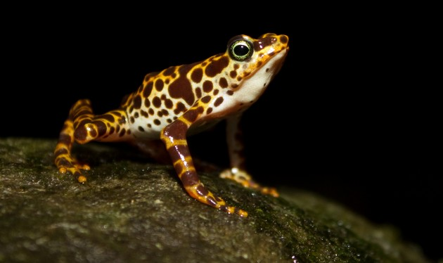 """""""Atelopus certus,"""" lives Cerro Sapo (or Toad Mountain) in the Darien Region of eastern Panama, and is one of the most strikingly colored or all harlequin frogs. (Photo by Brian Gratwicke)"""