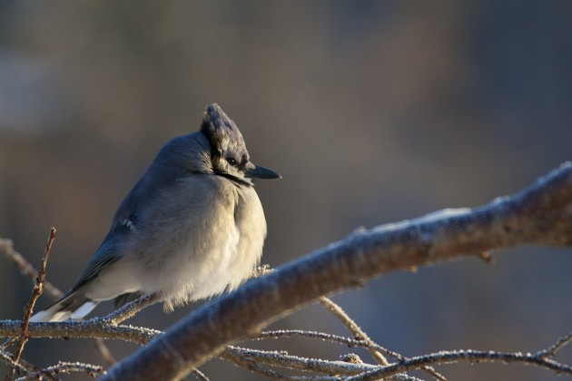 Keeping Warm In Winter Is For The Birds Smithsonian Insider