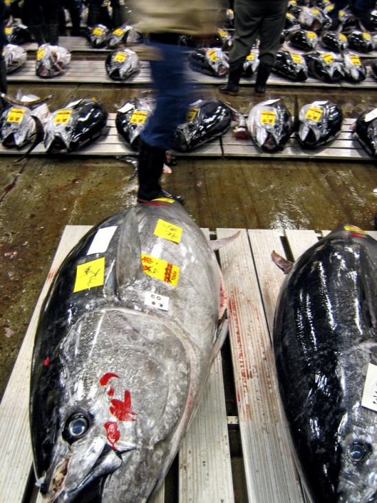 Bluefin tuna on the auction floor at at Tsukiji Fish Market in Tokyo, Japan. (Flickr photo by Nate Gray)