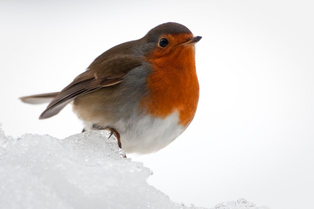 Image result for robins of finland winter