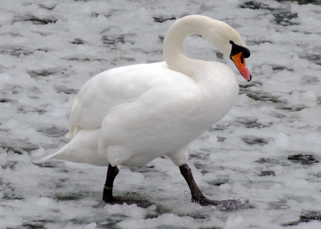 Mute swans, like other members of the swan, goose and duck families, keep their feet and legs warm in winter with a special network of veins and arteries called a counter-current heat exchange system. (Flickr photo by Paul Grayson)
