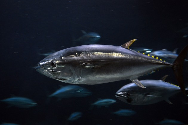Pacific bluefin tuna (Flickr photo by Yasuki Ichishima)
