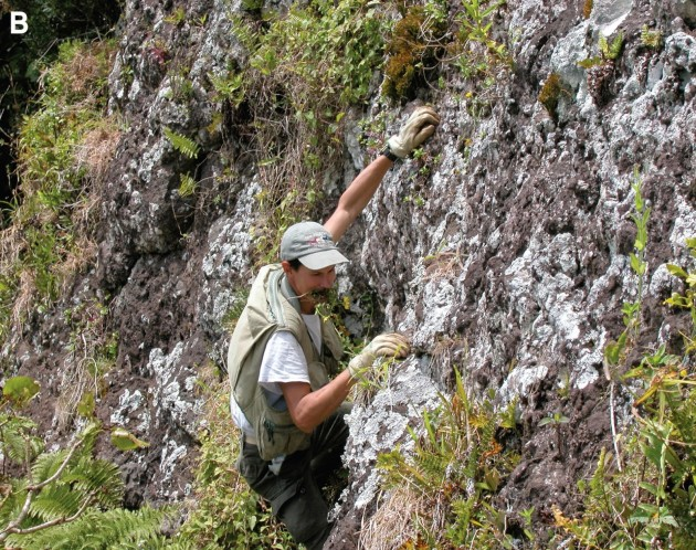 "Conservation biologist Jean-Yves Meyer climbing a volcanic cliff on the with a specimen of ""Bidens meyeri"" in his teeth. This plant is known from only a few specimens found on this cliff on the South Pacific island of Rapa. The plant was named in Meyer's honor."