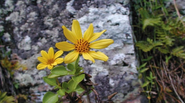 "A close up of the newly discovered flowering plant: ""Bidens meyeri."""