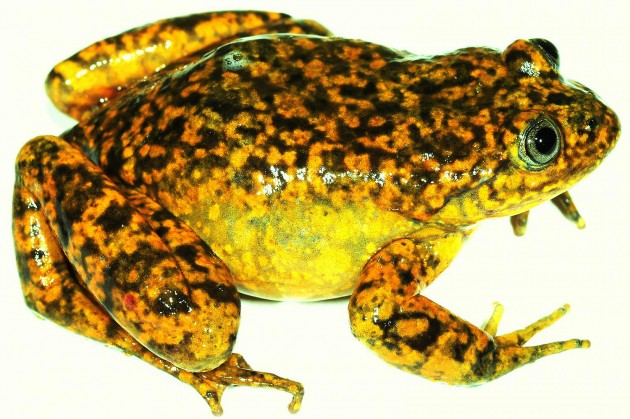 """Telmatobius ventriflavum,"" a new water frog from the Pacific slopes of the Andes in central Peru."