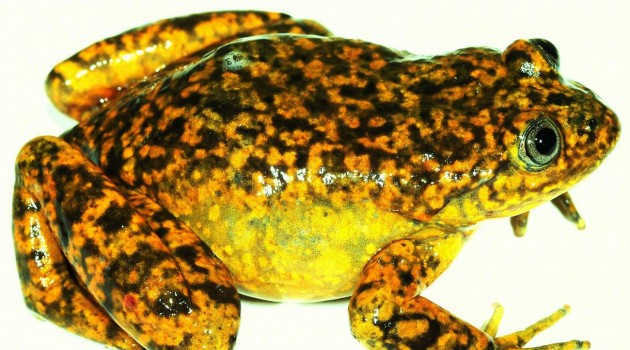 """""""Telmatobius ventriflavum,"""" a new water frog from the Pacific slopes of the Andes in central Peru."""