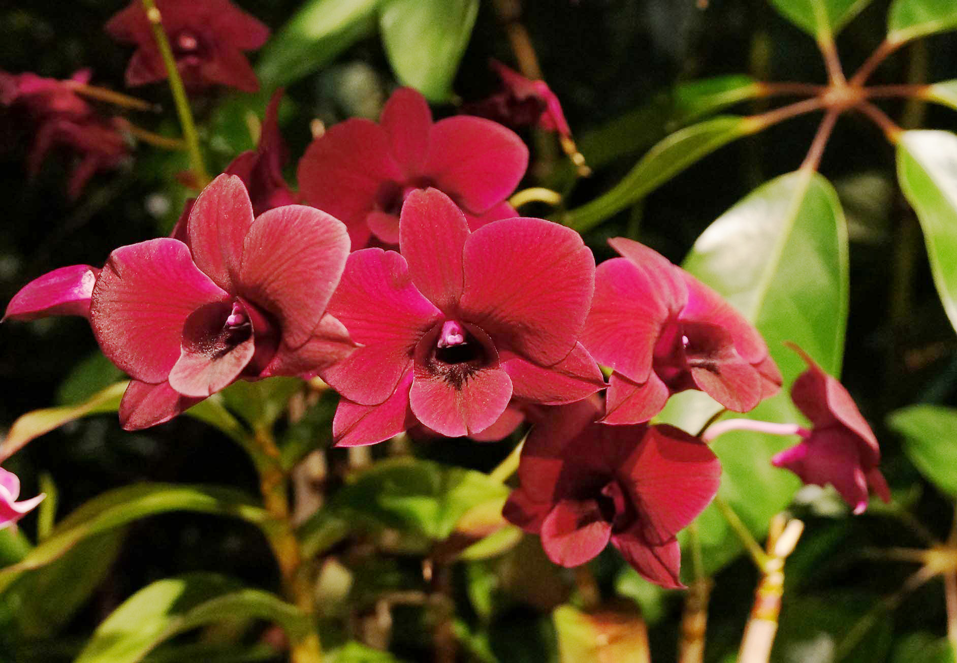 Dendrobium orchid - a plant only for professional florists 24