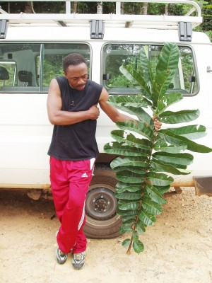 "While holding a compound leaf of ""Carapa macrantha"" Harms, the biggest leaf in the genus Carapa, David Kenfack is bitten by an ant. This photograph was taken near Makokou in Gabon, Africa."