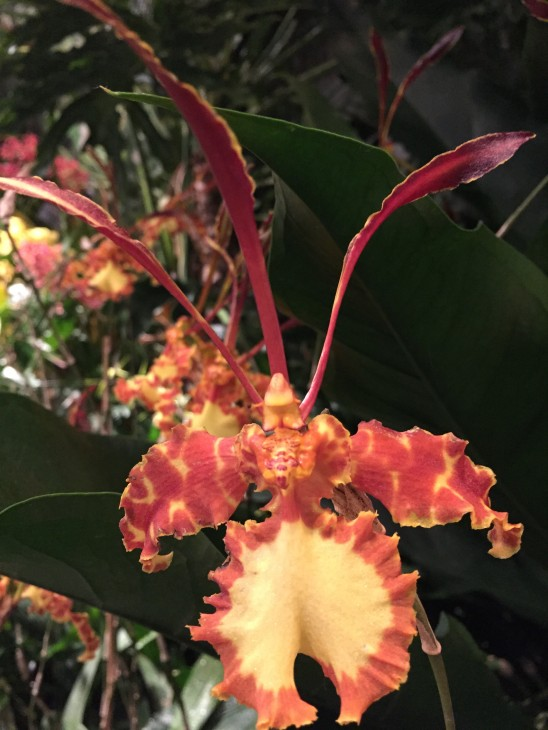 "The butterfly mimicing flower of the orchid ""Psychopsis Mariposa Mountain"" in the Smithsonian exhibit ""Orchids: Interlocking Science and Beauty."" (Photo by Michelle Z. Donahue)"