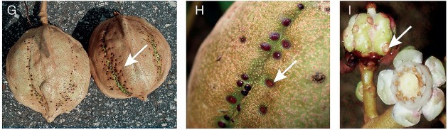 "Arrows indicate nectaries located on the mature (G&H) and immature (I) fruits of three different species of Carapa trees. Left and center: ""C. procera"" C.DC from Ghana and Mali, and right, ""C. zemagoana"" Kenfack from Cameroon."