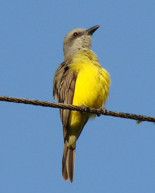 """Tyrannus melancholicus,"" a flycatcher also known as the tropical king bird, is one of the hosts of the newly described species of tapeworm, ""Anonchotaenia vaslata."" (Flickr photo by barloventomagico)"