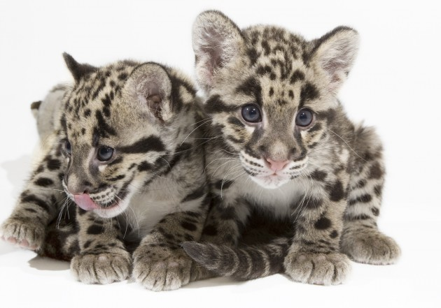 These two male clouded leopard cubs were born at the Smithsonian Conservation Biology Institute in Front Royal, Va. Feb. 14, 2009. (Mehgan Murphy photo)