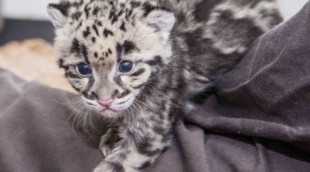 Clouded leopards, from crisis to success: Q&A with Janine Brown