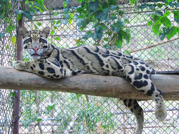 A mature clouded leopard in the Khao Khew Open Zoo in Thailand.