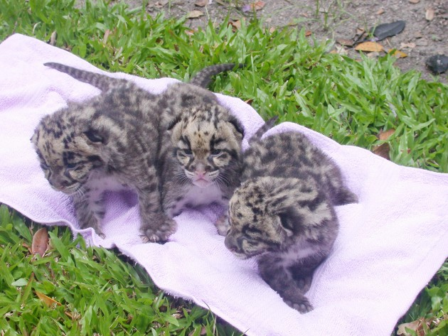 Clouded leopard cubs that were born as a result of the highly successful work of the breeding program of the Thailand Clouded Leopard Consortium at the Khao Khew Open Zoo near Bangkok, Thailand.