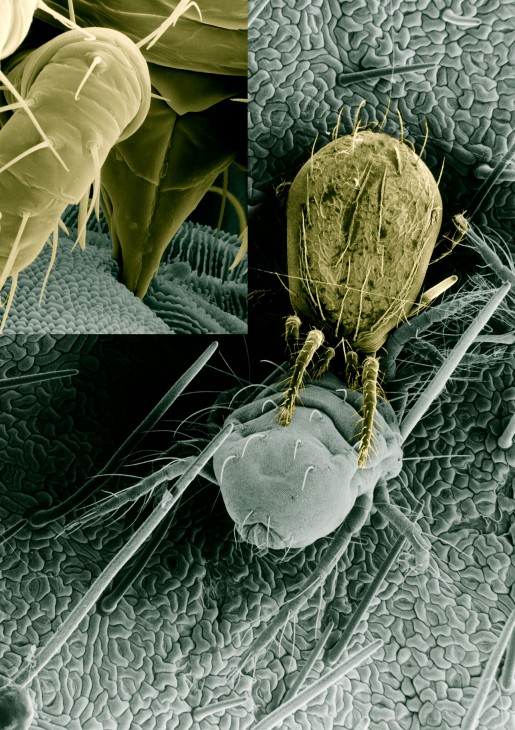 mite mouthparts