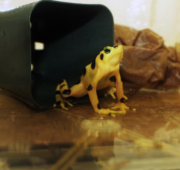 One of the Panamanian Golden Frogs involved in the study. (Photo by Brian Gratwicke)