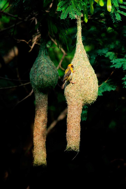 The baya weaver bird from Asia uses grasses and palm fronds to weave an intricate hollow ball suspended from the tip of a tree branch. To make it especially difficult for predators to gain access, the bird finishes by adding a downward-facing entrance tunnel. (Photo by Ramnath Bhat)
