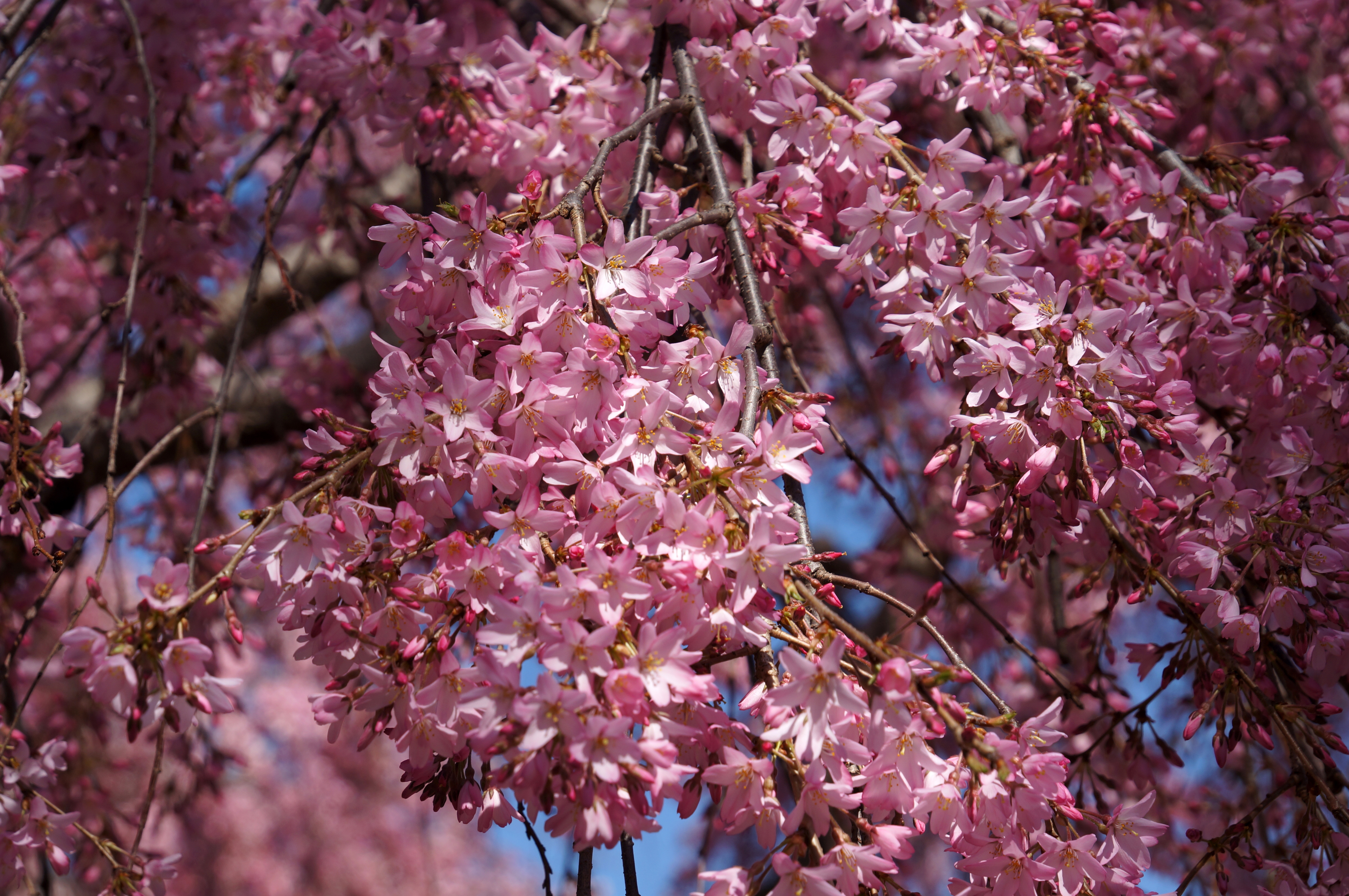 Washington D C S Cherry Trees Are Very Good At Planning For The