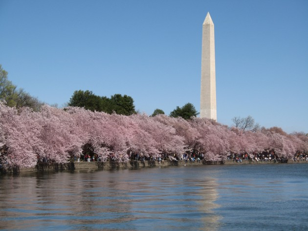 The Tidal Basin in Washington, D.C. surrounded by flowering cherry trees at their peak. (Photo by Leosmedley)