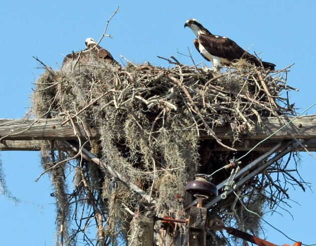 Ospreys usually return to the same nest each year, which is typically made of sticks, driftwood and seaweed. The pair often adds to the nest each spring, which can result in huge structures exceeding six feet in diameter. (Photo by Googie man)
