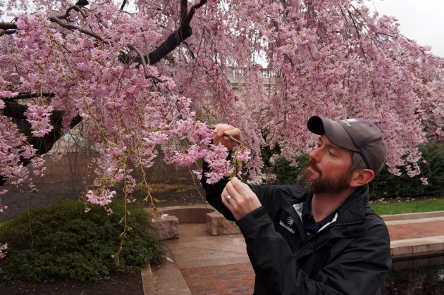 Greg Huse, an arborist with Smithsonian Gardens, inspects the weeping cherry tree in the Smithsonian's Moon Gate Garden in Washington, D.C.  (Photo by John Gibbons)