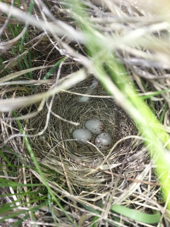 The nests of many ground-nesting birds, like the vesper sparrow, are more vulnerable to predators. (Photo by Kati Fleming)