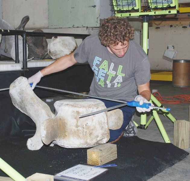 Whale scientist Logan Arthur takes the measurements of a whale vertebrae.