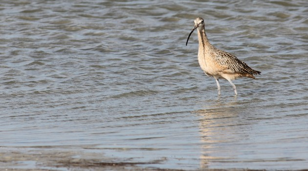 Satellite tracking helps with curlew conservation