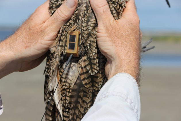 A long-billed curlew freshly outfitted with a solar-powered Argos satellite transmitter is readied for release.