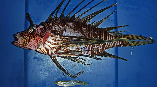"A lionfish shown with two mature female social wrasses, ""Halichoeres socialis,""recovered from its stomach."