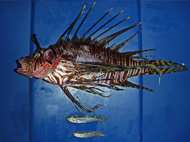 """A lionfish shown with two mature female social wrasses, """"Halichoeres socialis,""""recovered from its stomach."""