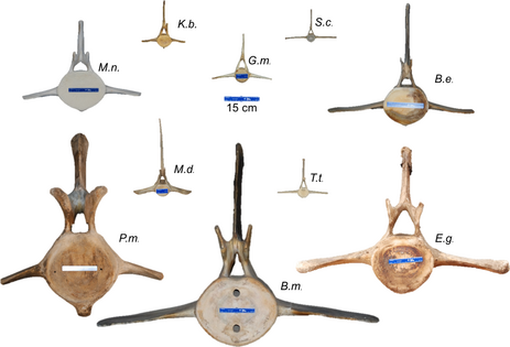 Representative vertebrae from several cetacean species, shown at the same scale and viewed from the cranial face. The vertebrae are denoted by the genus species abbreviated from Table 2