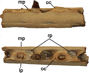 Portions of the left and right jawbones from a very young species of mosasaur from the Mesazoic Era. The bar line represents 1 cm for scale. (Photo courtesy Daniel Field)